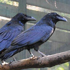 Ravens at Le Nichoir